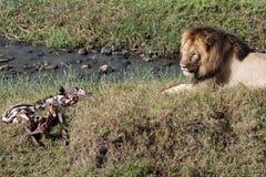 Männlicher Löwe, der tote Zebrakarkasse schützt Lizenzfreie Stockfotos