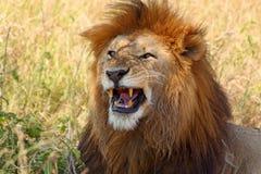 Männlicher Löwe, der Zähne zeigt Stockfotos