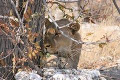 Männlicher Löwe im Farbton des Baums Stockfotos