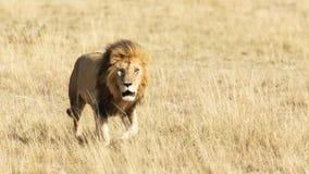 Männlicher Löwe im langen Gras des Masais Mara lizenzfreie stockfotografie