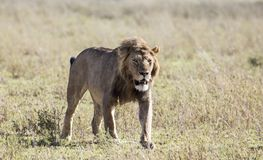 Männlicher Löwe im Maasai Mara, Kenia Stockfotografie