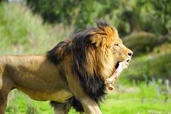 Männlicher Löwe mit dem Knochen Stockfotos