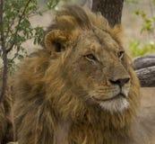 Männlicher Löwe - Nationalpark Kruger Stockbild
