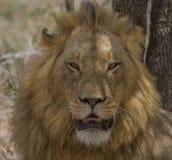 Männlicher Löwe - Nationalpark Kruger Lizenzfreies Stockbild