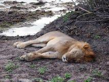 Männlicher Löwe Schlafens Stockbilder