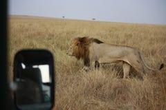Männlicher Löwe vom Jeep Lizenzfreie Stockbilder