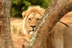 Männlicher Löwe zwischen Bäumen Stockfoto
