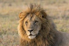 Männlicher Löweabschluß oben Lizenzfreie Stockfotos