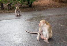 Männlicher langschwänziger Affe starrt entlang des Mutter- und Kinderaffen wie h an Stockbilder