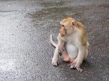 Männlicher langschwänziger Affe starrt entlang etwas auf seinem rechten Si an Stockfotografie