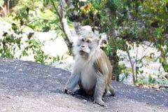 Männlicher langschwänziger Makaken, Affe, der auf Felsen, Forest Backgro sitzt Lizenzfreie Stockfotos