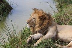 Männlicher Lion Rests By River Lizenzfreies Stockfoto