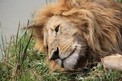 Männlicher Lion Rests By River Lizenzfreies Stockbild