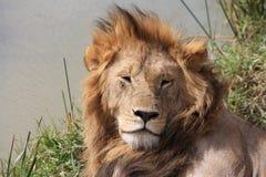 Männlicher Lion Rests By River Stockfotografie
