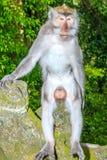Männlicher Makaken-Affe auf einer Statue Stockbilder