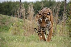 Männlicher malaysischer Tiger lizenzfreies stockfoto