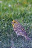 Männlicher mit dem Kopfe stoßender Vogel auf Rasen mit schwarzem Samen im Schnabel stockfotografie