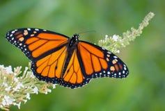 Männlicher Monarchfalter, der auf weiße Blumen einzieht Stockfoto