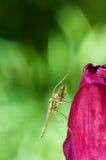 Männlicher Moskito auf Tulpeblume Stockfotos