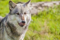Männlicher Nordamerikaner Gray Wolf, Canis Lupus, seine Lippen leckend Lizenzfreies Stockfoto
