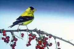 Männlicher nordamerikanischer Goldfinch Lizenzfreies Stockfoto