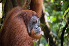 Männlicher Orang-Utan in Nationalpark Sumatras Stockbild
