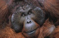 Männlicher Orang-Utan stillstehende Nahaufnahme Lizenzfreies Stockbild