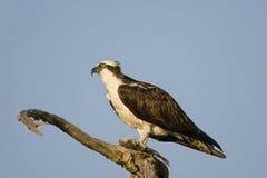 Männlicher Osprey, der einen Fisch in einem Baum isst Stockbild