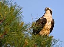 Männlicher Osprey hockte in der Kiefer mit blauem Himmel Stockbild