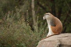Männlicher Patas-Affe, der in den Abstand anstarrt Stockfoto