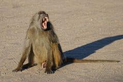 Männlicher Pavian, der uns seine Zähne gähnt und zeigt stockfoto