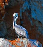 Männlicher Pelikan leuchtete durch die Morgensonne auf Pelikan-Felsen in Cabo San Lucas Baja Mexiko Lizenzfreies Stockfoto