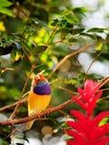Männlicher Regenbogenfinkvogel Lizenzfreie Stockfotos