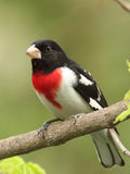Männlicher Rose-breasted Grosbeak Lizenzfreies Stockbild