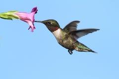 Männlicher Rubin-throated Kolibri Stockfotos