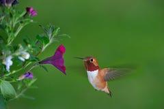 Männlicher rufous Kolibri Stockfotografie