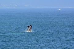 Männlicher südlicher Glattwal, Hermanus, Südafrika stockfotos
