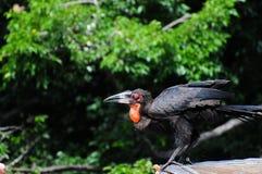 Männlicher südlicher GrundHornbill Stockfotografie