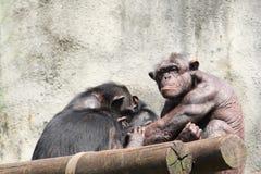 Männlicher Schimpanse Stockfotografie
