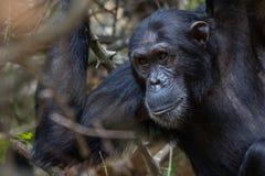 Männlicher Schimpanse, der in den Wald anstarrt Stockfotografie