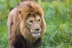 Männlicher schlendernder Löwe Stockfotos