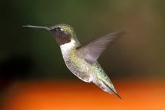Männlicher schwebender Kolibri Lizenzfreies Stockfoto