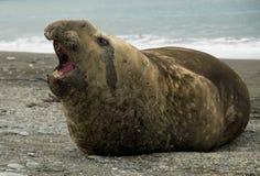 Männlicher Seeelefant mit geöffnetem Mund Stockfotos