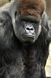 Männlicher Silverback Gorilla Stockfotografie