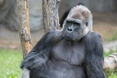 Männlicher starker Gorilla, der aus den Grund am Zoo sitzt Stockbilder