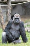 Männlicher starker Gorilla, der aus den Grund am Zoo sitzt Lizenzfreie Stockfotografie