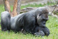 Männlicher starker Gorilla, der aus den Grund am Zoo stillsteht Stockfotos