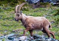 Männlicher Steinbock über Zermatt Stockfotos