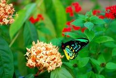 Männlicher Steinhaufen Birdwing-Schmetterling, der in Blumen einzieht Stockbilder