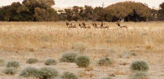 Männlicher Stier-Elch führt weibliches Tier-Mates Wild Livestock Stockfoto
